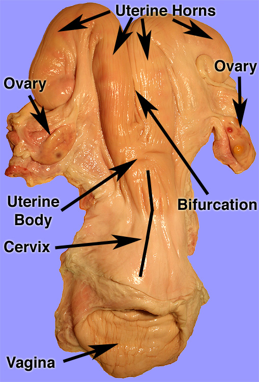 Female Cow Reproductive Tract