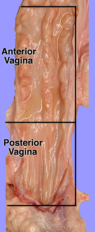 Anatomy of vagaina