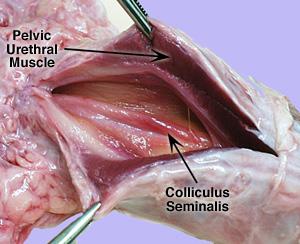 colliculus seminalis, Human Body