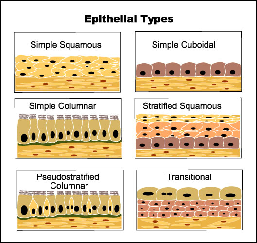 types of epithelial tissue This video explains the difference between simple and stratified epithelium, explains how to name the types of tissue, and explains where the tissues are fou.