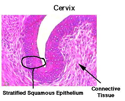 Uterus Drawing