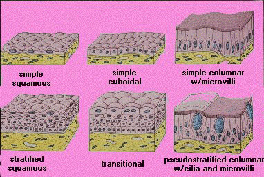 histology and endocrinological function of the Histology of lymphoid organs and tissues  lymph nodes/glands function divided into nodules filled with lymphocytes and macro phages filters lymph fluid.