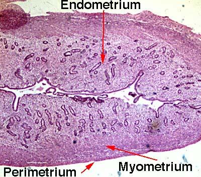 female anatomy and histology pictures endometrium diagram