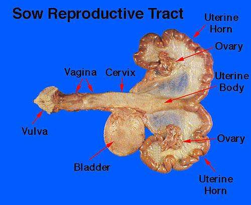 Clitoral hood anatomy