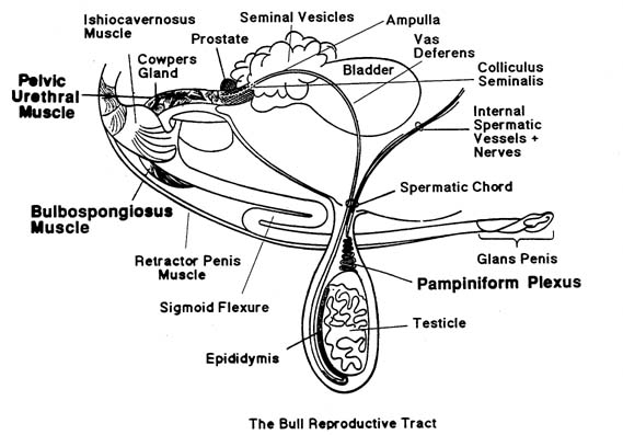 of the reproductive tract of the bull is shown in the following diagram.