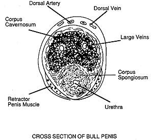 cross section of bull penis - fibroelastic type