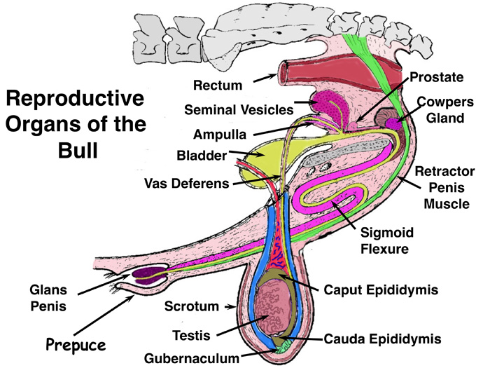 lecture 3 diagrams and pictures rh ansci wisc edu  bull reproductive system diagram