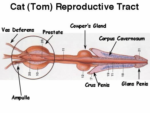 Male cat anatomy