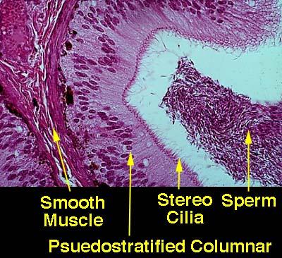 Vas Deferens Diagram Histology Pictures