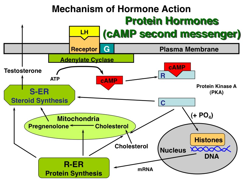 list of steroid and peptide hormones