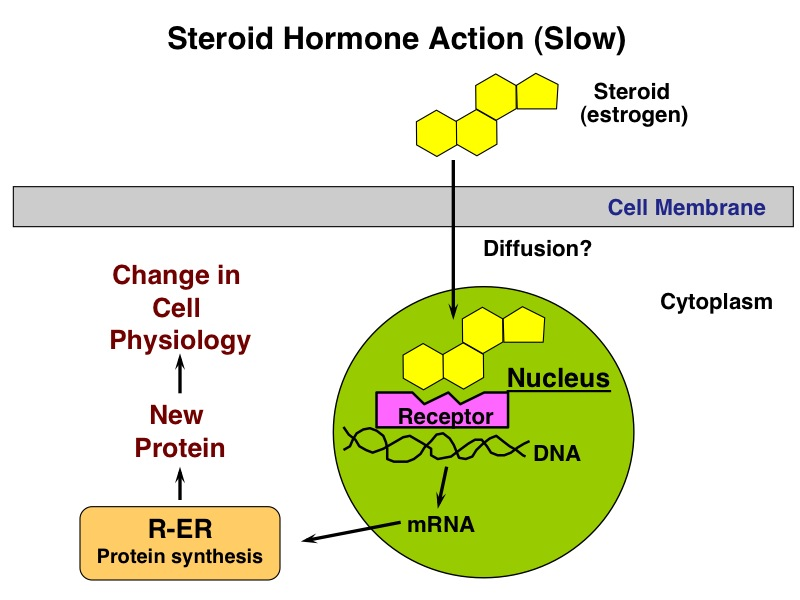 steroid hormones bind their receptors where and prompt what action