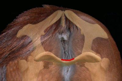 Mare vulva white discharge piliformis