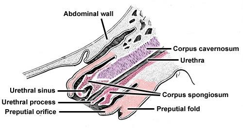 Stallion Anatomy