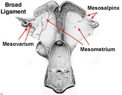 Mare Anatomy: Broad ligament