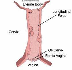 Mare anatomy cervix and uterus cervix ccuart Choice Image