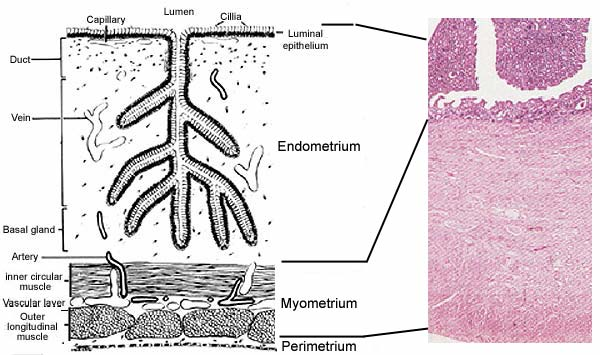 Mare Anatomy: Uterus