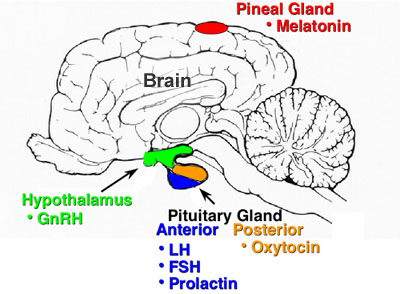 which gland secretes oxytocin